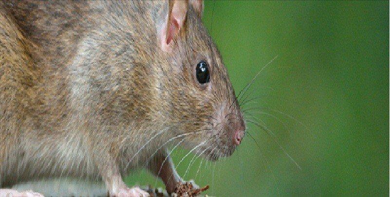 Mice und Ratte Deterrent