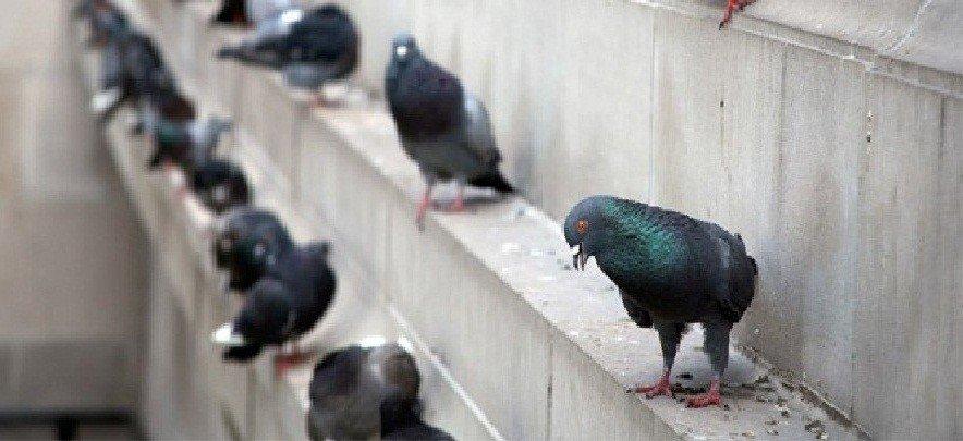Abstoßend Taube