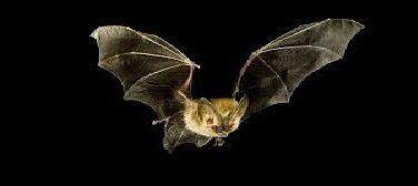 Bats Deterrent